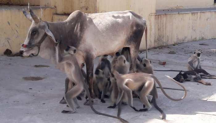 this cow becomes mother of hungary and thrusty monkeys