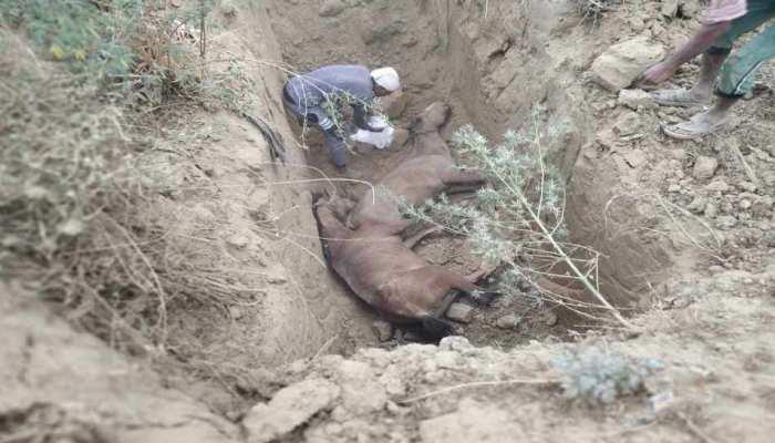 हरदोई: 2 घोड़ों को हुई लाइलाज बीमारी 'ग्लैंडर्स', दिया गया मौत का इंजेक्शन