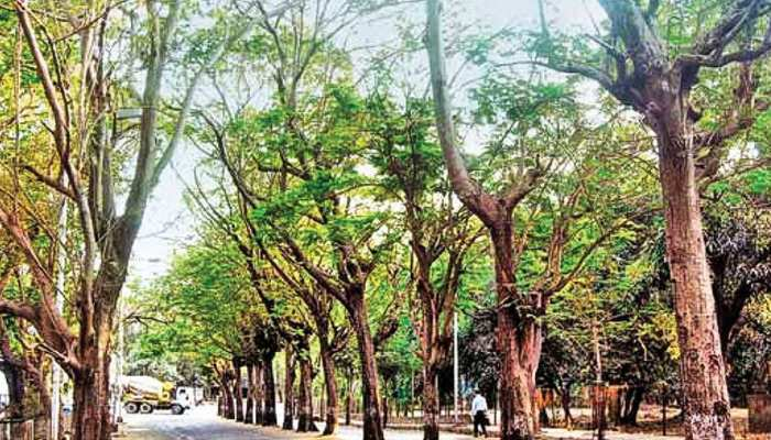 राजस्थान: रेत माफियाओं की दबंगई, बालू के लिए उखाड़ डाले सैकड़ों पेड़