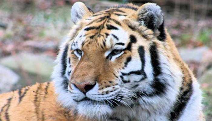 बाघों की गिनती के लिए इस्तेमाल हुए 26 हजार से ज्यादा कैमरे, खींची गई 3.5 करोड़ तस्वीरें