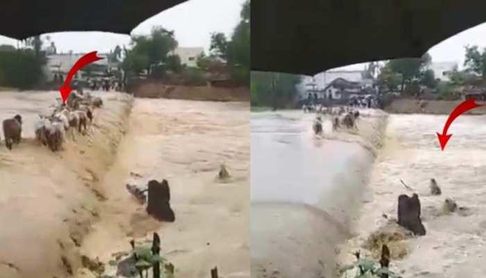 VIDEO: चंद्रपुर में पुल पार करने की कोशिश में एक-एक कर बह गईं 8 गायें, 5 की बचाई गई जान