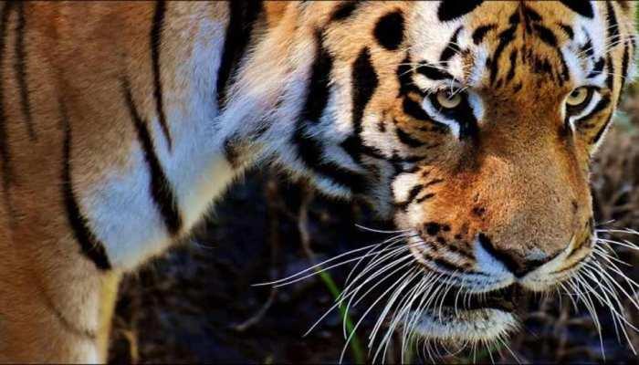 MP: बांधवगढ़ टाईगर रिजर्व में हुई 2 बाघों की मौत, अधिकारी नहीं दे पा रहे कोई जवाब