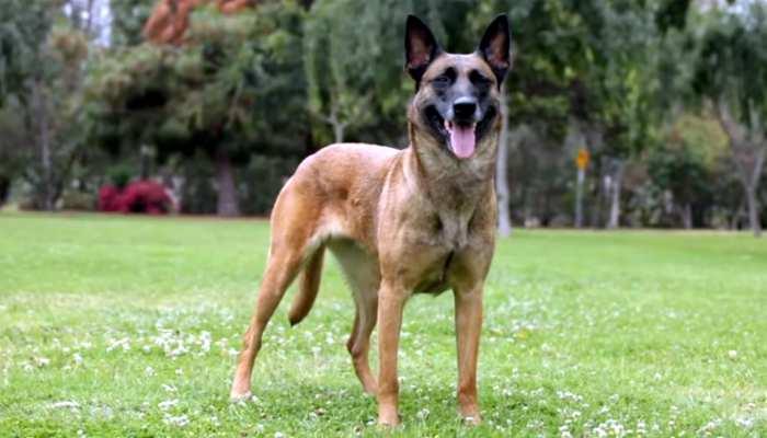 दिल्ली मेट्रो का पहरेदार बनेगा इस नस्ल का कुत्ता, ओसामा का ठिकाना सूंघकर कर दिया था पाकिस्तान को नंगा