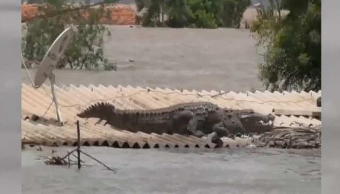 VIDEO: बाढ़ से बचने के लिए घर की छत पर जा बैठा विशालकाय मगरमच्छ