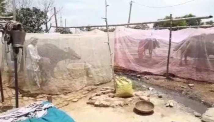बिहार के इस गांव में जानवरों को मच्छरदानी में रख रहे लोग, हर कोई कर रहा तारीफ