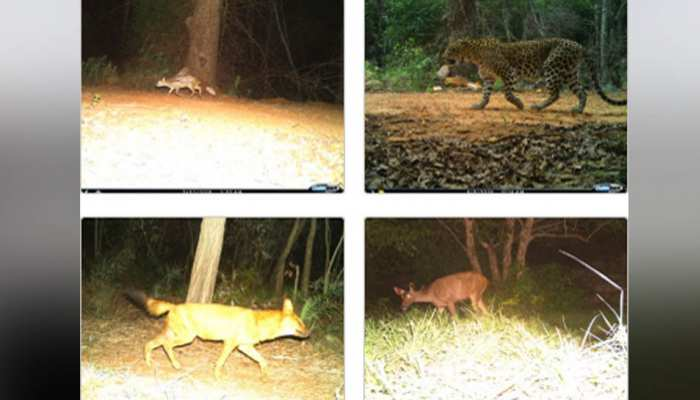 Tirumala rare animal found in TTD forest Aria