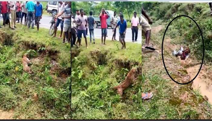 VIDEO: सड़क किनारे मृत अवस्था में पड़ा हुआ तेंदुआ, लोगों ने की मदद तो खड़ा हुआ और...