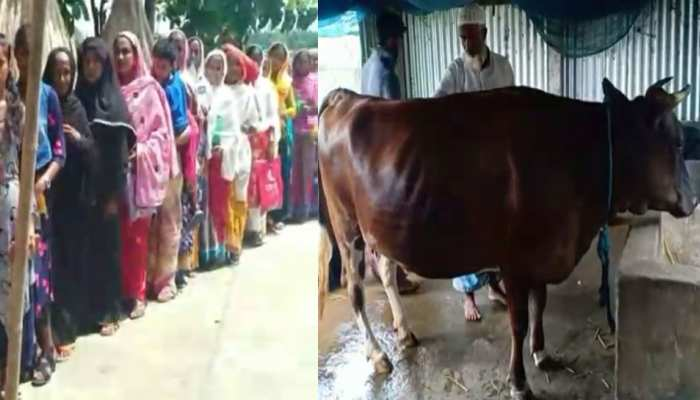 PICS: asam's  This cow's milk help people to gets rid of the disease