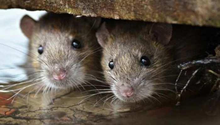 झारखंड: हजारीबाग में बांध टूटने के मामले में निर्दोष साबित हुए 'चूहे', 4 इंजीनियर सस्पेंड