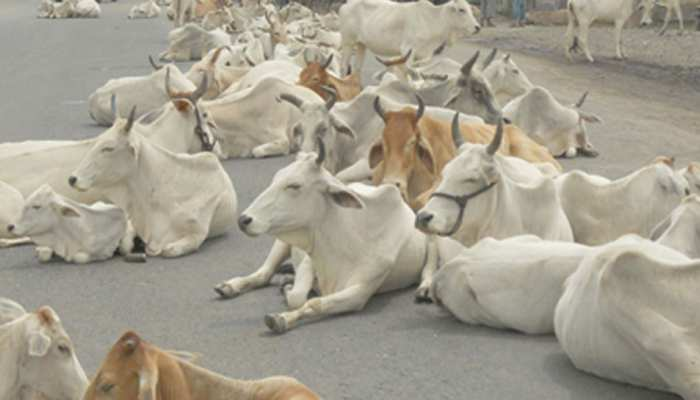 MP: शाजापुर में अज्ञात वाहन ने 13 गायों को रौंदा, ग्रामीणों ने किया हाईवे जाम