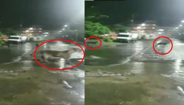 VIDEO: खाने की तलाश में शहर में घुस गया 7 शेरों का झुंड, देखकर उड़े लोगों के होश