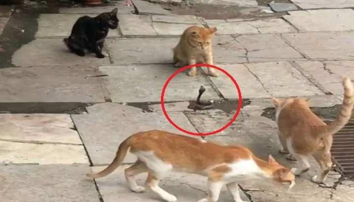 VIDEO: सांप पर टूट पड़ी 4 बिल्लियां, उसने फुफकार मारी तो मिला ऐसा जवाब
