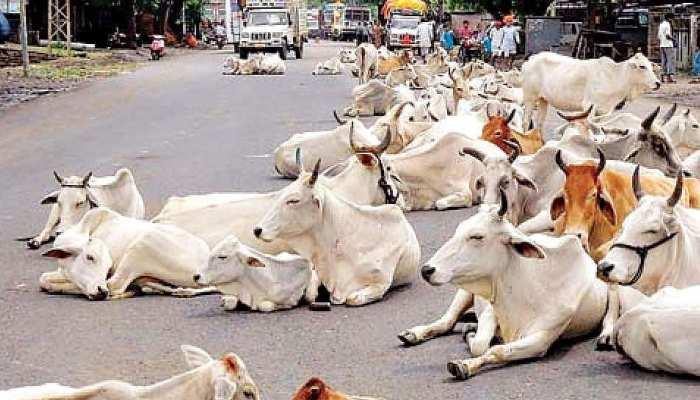 श्रीगंगानगर: श्रीविजयनगर में घूम रहे आवारा पशु बने परेशानी का कारण, प्रशासन लापरवाह