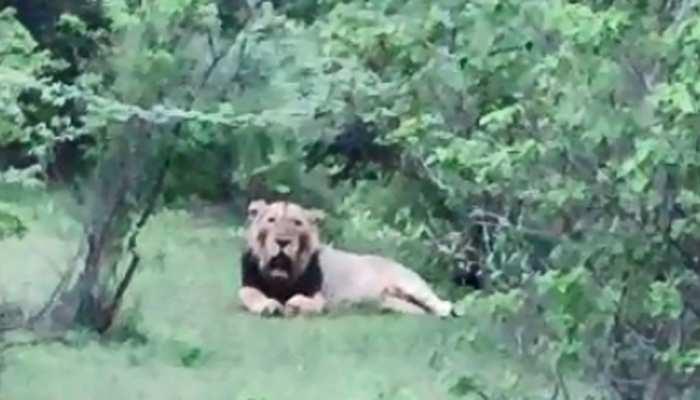 VIDEO: गुजरात में भारी बारिश से शेर भी हैं परेशान, जंगल छोड़ने को हुए मजबूर