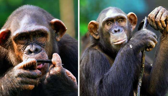 ED ने 3 चिंपांजी और 4 बंदरों को मनी लॉन्ड्रिंग एक्ट में किया अटैच, अपनी तरह का पहला मामला