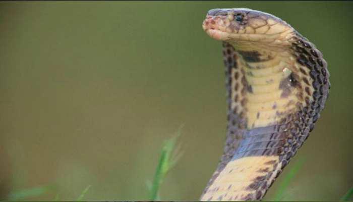 राजस्थान के करौली में 'जहरीले कोबरा' ने एक को डंसा, दर्दनाक मौत
