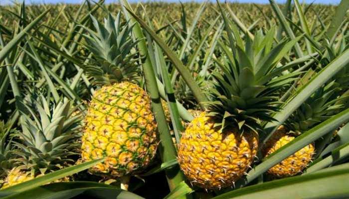 बिहार: 'टिश्यू कल्चर' से तैयार अननास की उगाई जाएगी फसल, अच्छे पौधे किए जाएंगे तैयार
