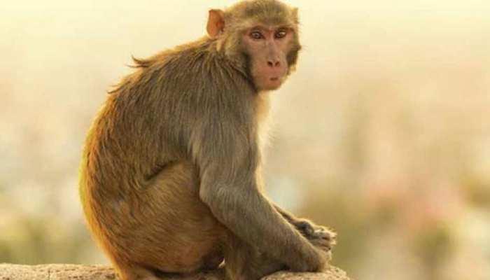 ऐ भाई! जरा संभलकर... मथुरा के हर मोड़ पर 'बवाली' बंदर हैं