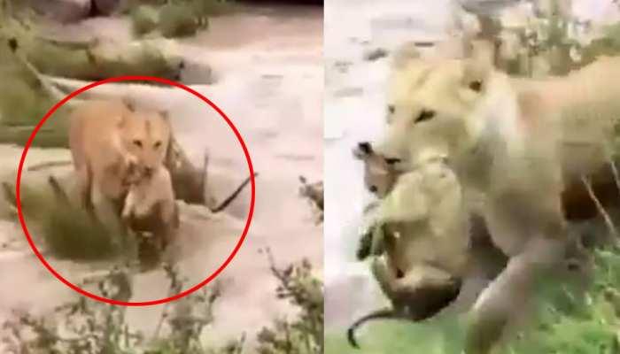गुजरात: खतरनाक बाढ़ में शेरनी ने अपने बच्चे के साथ ऐसे पार की नदी, VIDEO वायरल