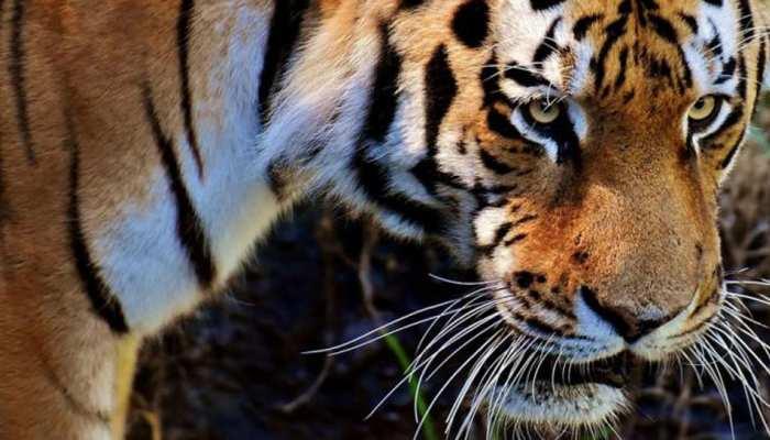 सवाई माधोपुर: मासूम बच्चे पर टाइगर ने किया जानलेवा हमला, मौत