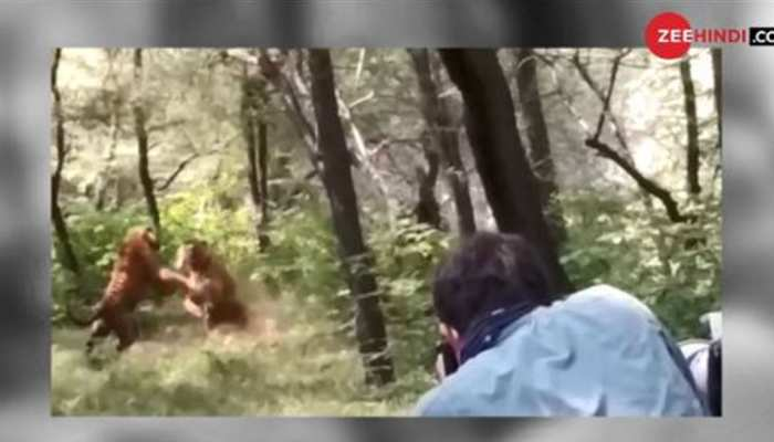 शेरनी के लिए आपस में भिड़ गए 2 शेर और फिर... देखें VIDEO