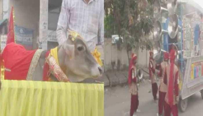 बैंड-बाजे के साथ यहां निकली नंदी की बारात, जानें क्यों हुई गाय के साथ शादी