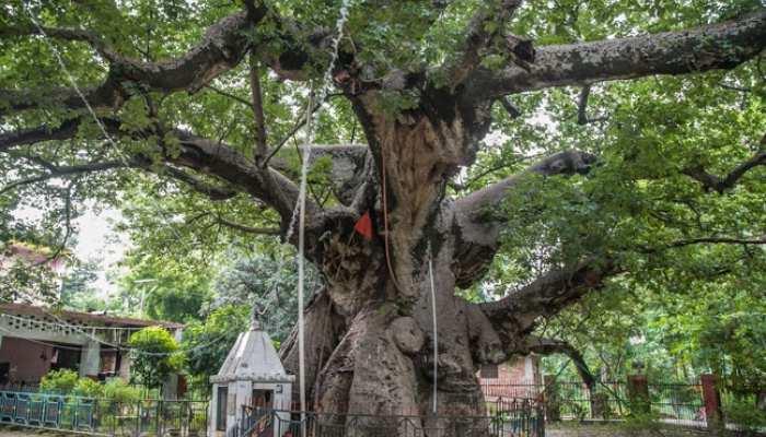 भगवान कृष्ण जिसे इंद्र के बागीचे से उखाड़कर लाए थे, यहां है वो पेड़