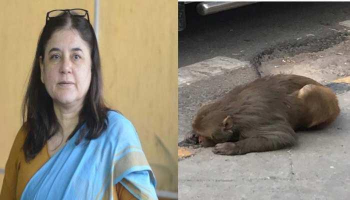 घायल बंदर को बचाने के लिए BJP सांसद मेनका गांधी आईं आगे, तत्काल इलाज के लिए भेजा कार