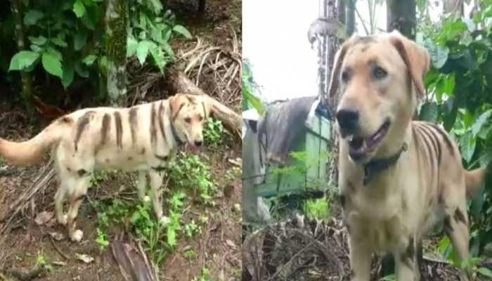 कर्नाटक: किसान ने कुत्ते को ऐसे बनाया 'बाघ', जान कर हो जाएंगे हैरान