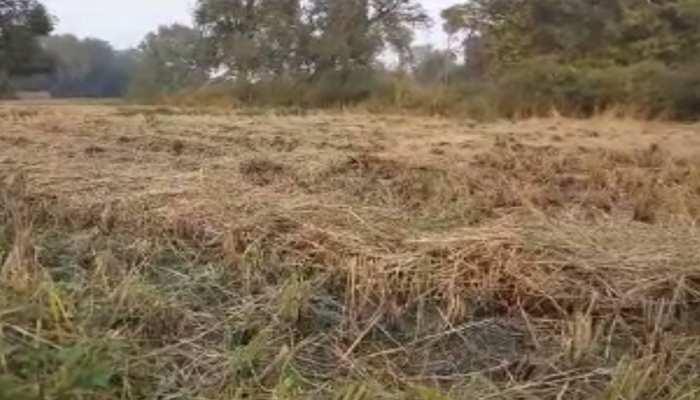 आरा: अचानक हुई बारिश से किसान मायूस, धान की फसल को हुआ नुकसान