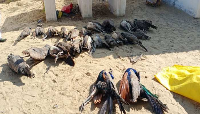 बीकानेर: खेत में एक साथ मरे मिले 25 मोर, जहरीला दाना देकर जान लेने की आशंका