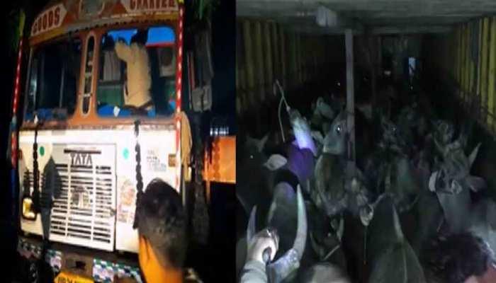 MP: दमोह में पुलिस बैरीकेडिंग तोड़ भागे गौ तस्कर, ट्रक में बरामद हुए सौ से ज्यादा जानवर