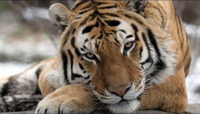 बिहार: अभयारण्य में बाघ से लड़ाई में बाघिन की मौत