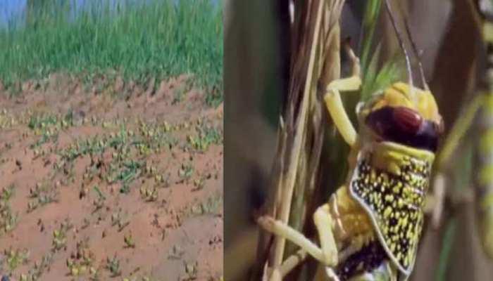 बीकानेर: टिड्डी दल की मार से किसान फिर परेशान, पकी फसल हुई चौपट