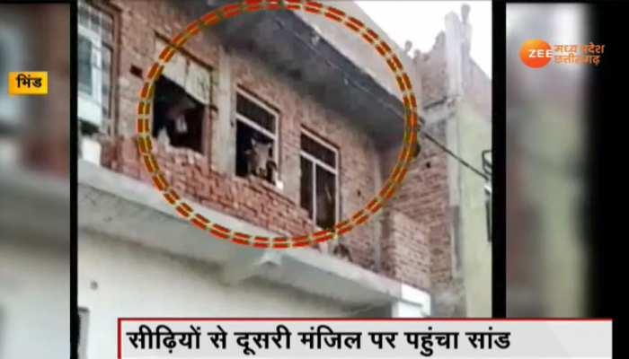 VIDEO: घर की दूसरी मंजिल पर चढ़ गया सांड, घंटों की मशक्कत के बाद ऐसे उतरा नीचे