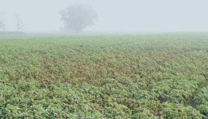 राजस्थान में बेमौसम बरसात बनी फसलों के लिए आफत, किसान परेशान