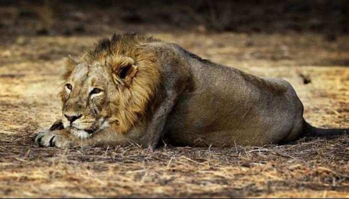 शेरनी से मिलने के लिए शेर ने किया कुछ ऐसा कि दंग रह गए लोग, जानिए पूरा मामला