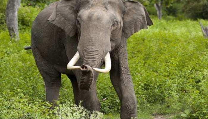 हाथी का गुस्सा देखकर गाड़ी भगाने पर मजबूर हुआ वन अधिकारी, बाल-बाल बची जान