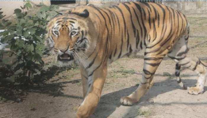 झारखंड: बंगाल टाइगर ने मचाया कोहराम, डर से धनुष-टांगी लेकर स्कूल जाते हैं बच्चे