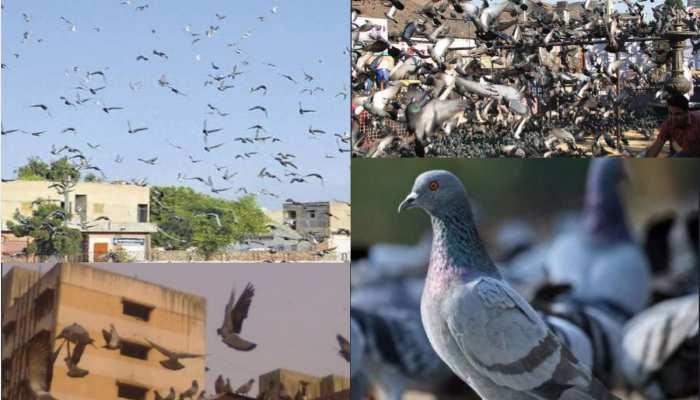 बीमारी फैला रहे हैं घरों के आस-पास उड़ते कबूतर, रहिए सावधान