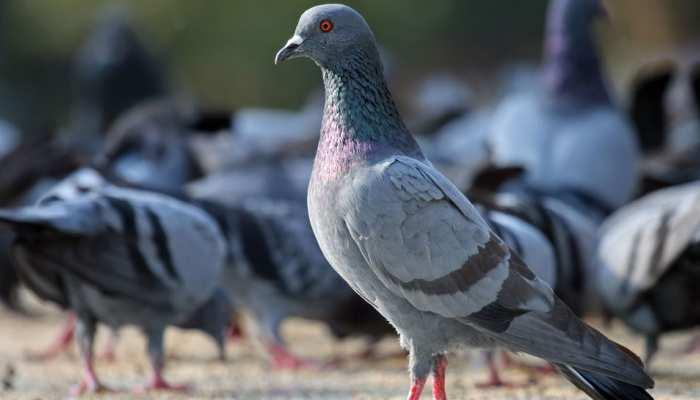 इस पक्षी की वजह से हो सकती है फेफड़े की गंभीर बीमारी, वजह हैरान कर देगी