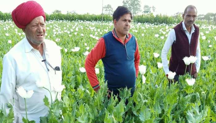 MP: मालवा मेवाड़ के खेतों में लहलहा रहा काला सोना, किसानों के चेहरे खिले