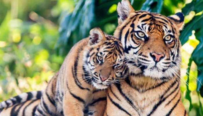 बिहार: राजगीर में अब दहाड़ेंगे बाघ, 480 एकड़ इलाके में बन रही सफारी