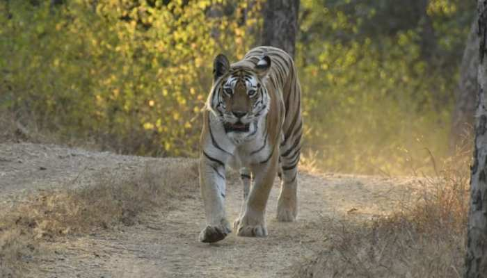 MP: पेंच टाइगर रिजर्व की बाघिन के नाम है ये कीर्तिमान, बना चुकी है अनूठा विश्व रिकॉर्ड