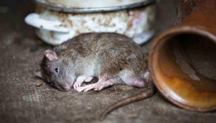 UP: अपराधियों के बाद अब मिशन 'चूहा एनकाउंटर', बागपत में शुरू हुई तैयारी