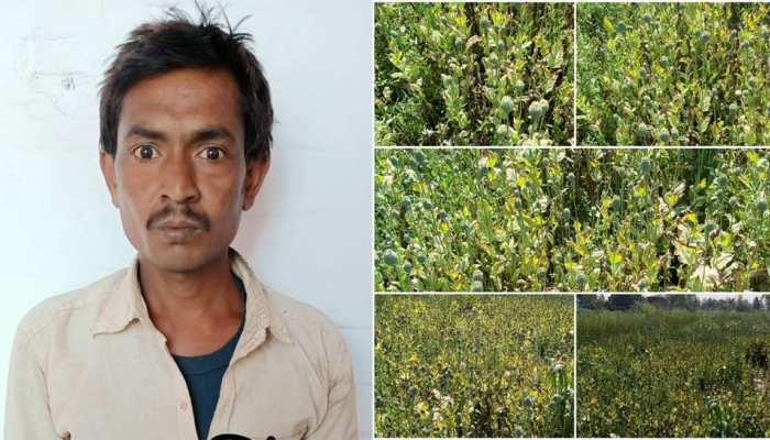 UP: सरसों की फसल के बीच यह शख्स कर रहा था अफीम की खेती, STF और NCB ने किया पर्दाफाश