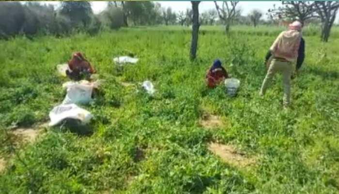 सीकर: ओलावृष्टि से किसानों की फसलें चौपट, नम आंखों से कर रहे सरकार से मुआवजे की मांग