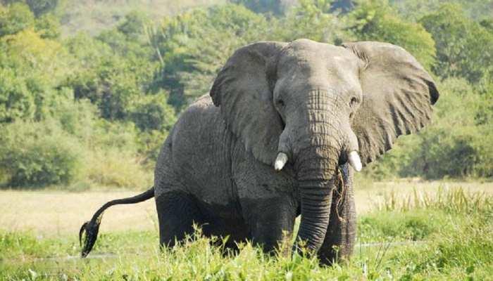 बिहार: वाल्मीकी टाइगर रिजर्व में राजा हाथी हुआ घायल, सूंड में घुस गया दांत