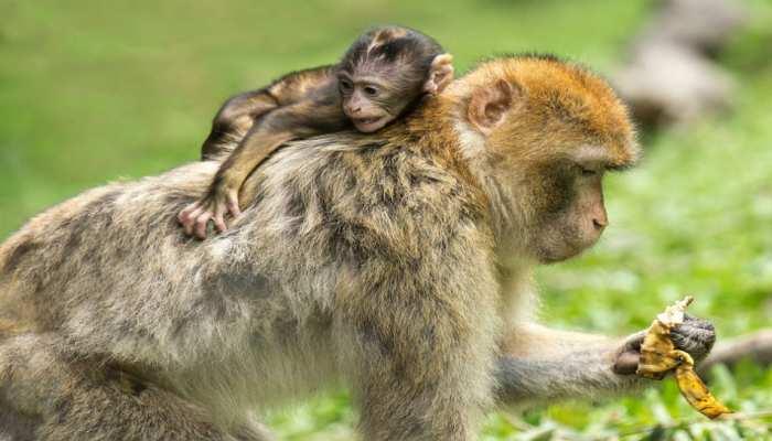 UP: संभल में 20 बंदरों की मौत से हड़कंप, पोस्टमार्टम रिपोर्ट में निमोनिया होने की पुष्टि