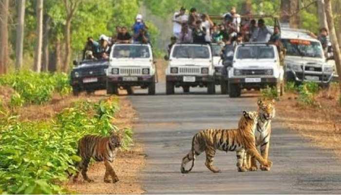 MP: कान्हा टाइगर रिजर्व में 2 बाघ शावकों की मौत से हड़कंप, प्रबंधन ने बताई ये वजह
